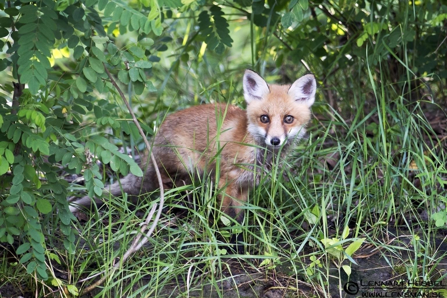 Red Fox at Lake Tisza, Hungary