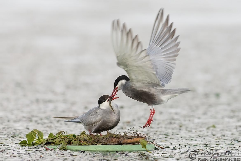 Whiskered Tern couple feeding, Lake Tisza