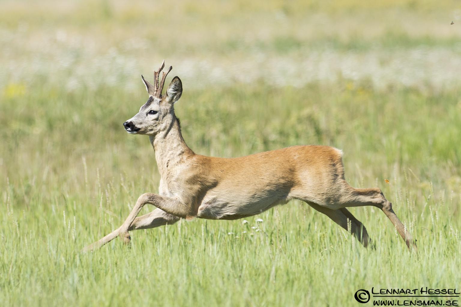 Deer in Hungary