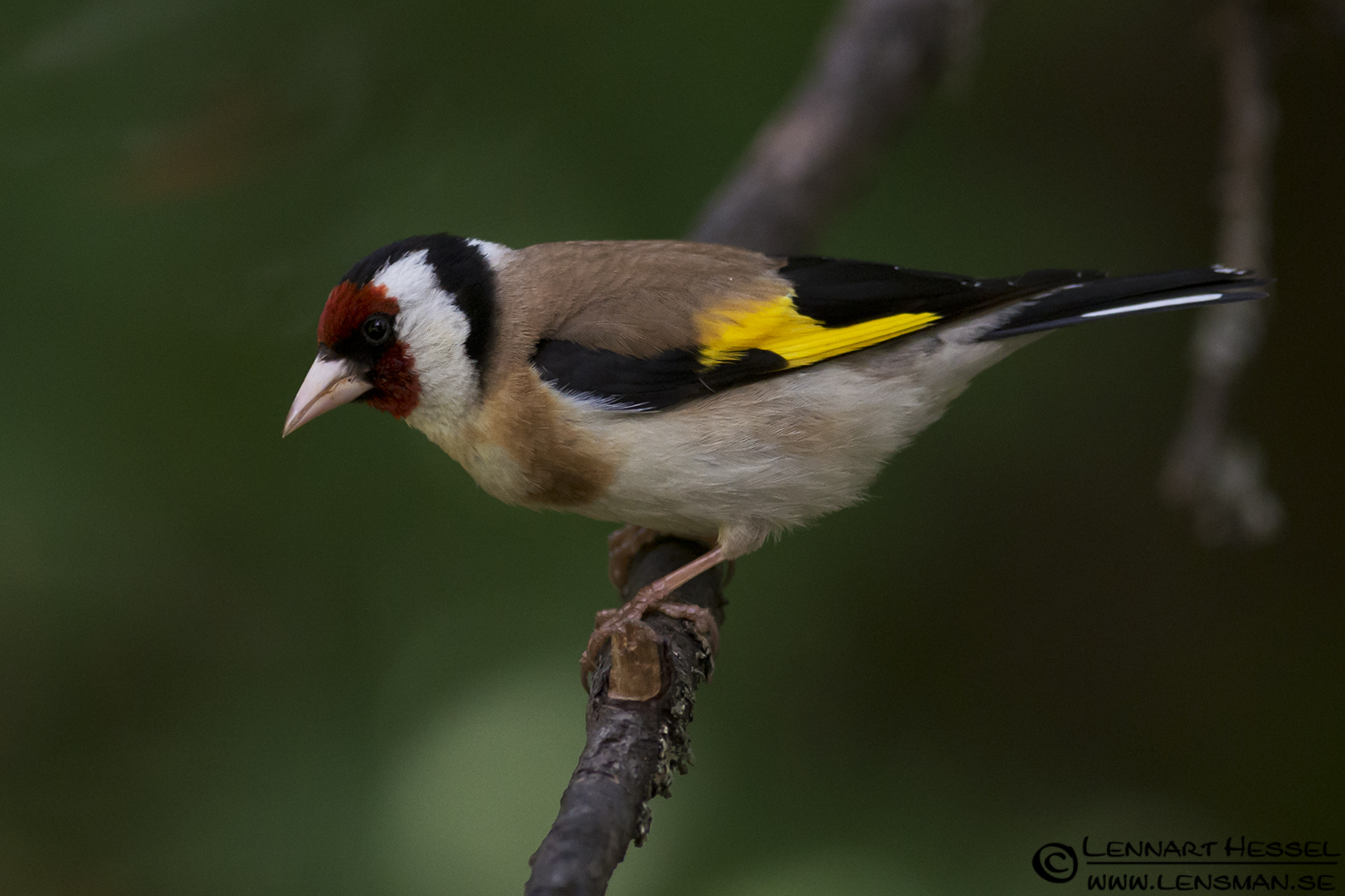 Goldfinch in Hungary