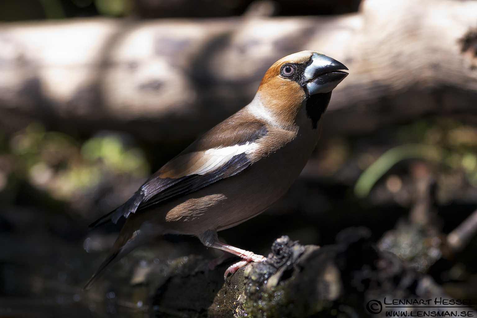 Hawfinch in Hungary