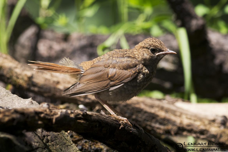 Nightingale in Hungary, owls