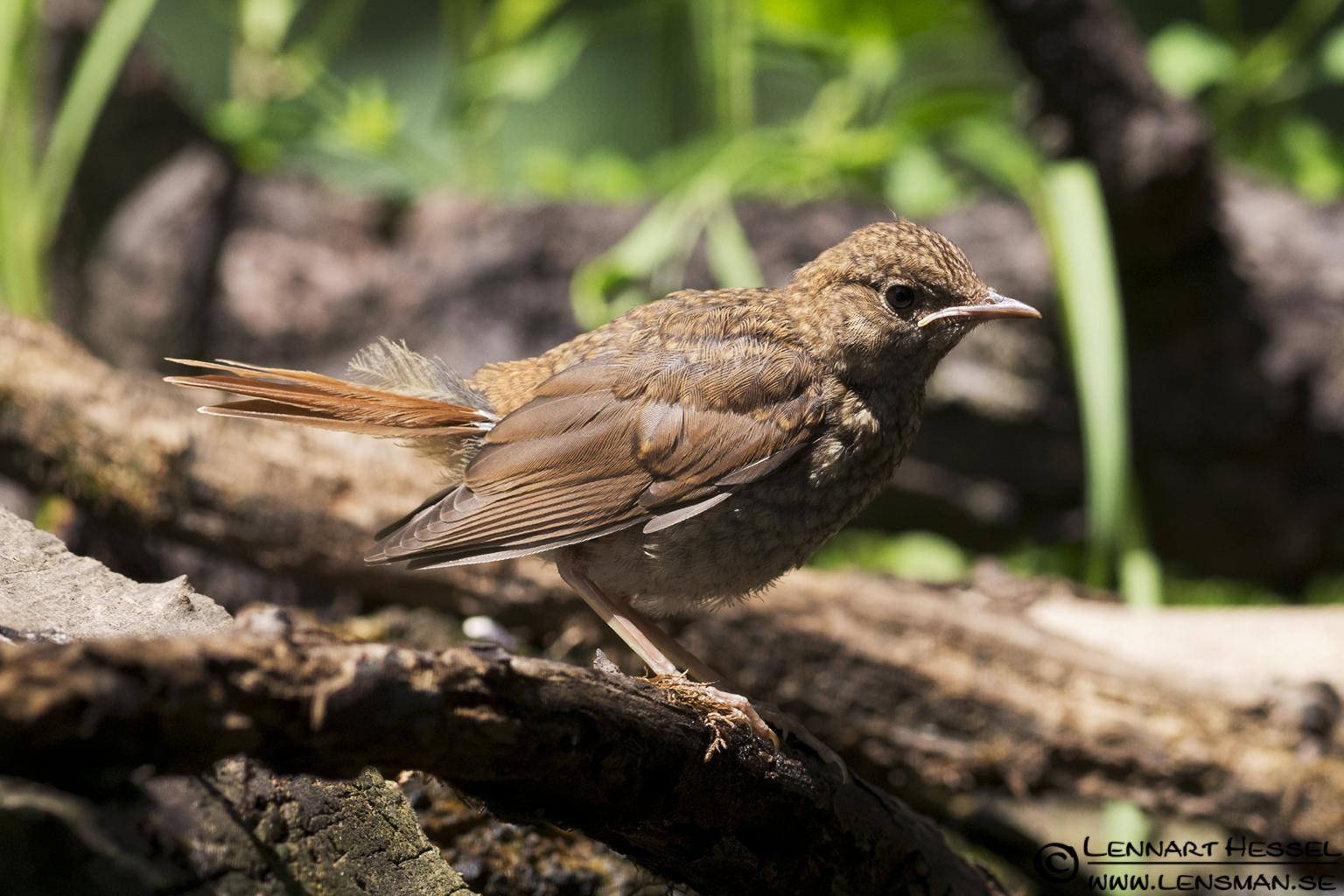 Nightingale in Hungary