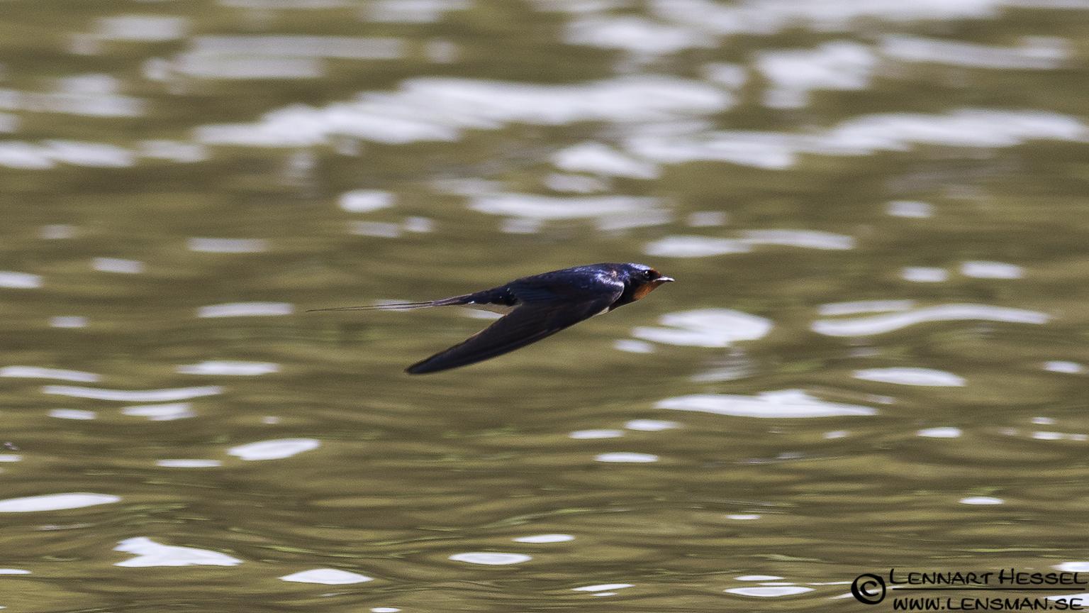 A Barn Swallow speeding over the water at Lärjeån.