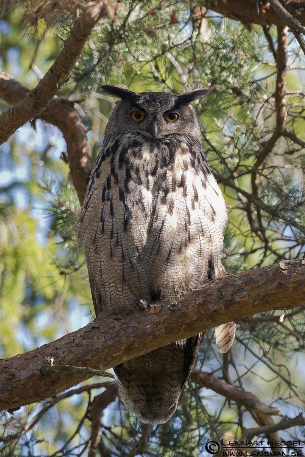 Eurasian Eagle-Owl, deer