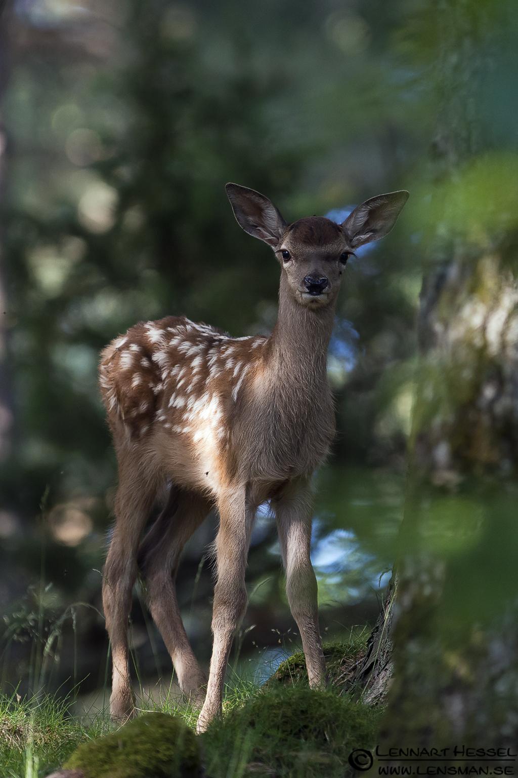 Red Deer calf aka Bambi