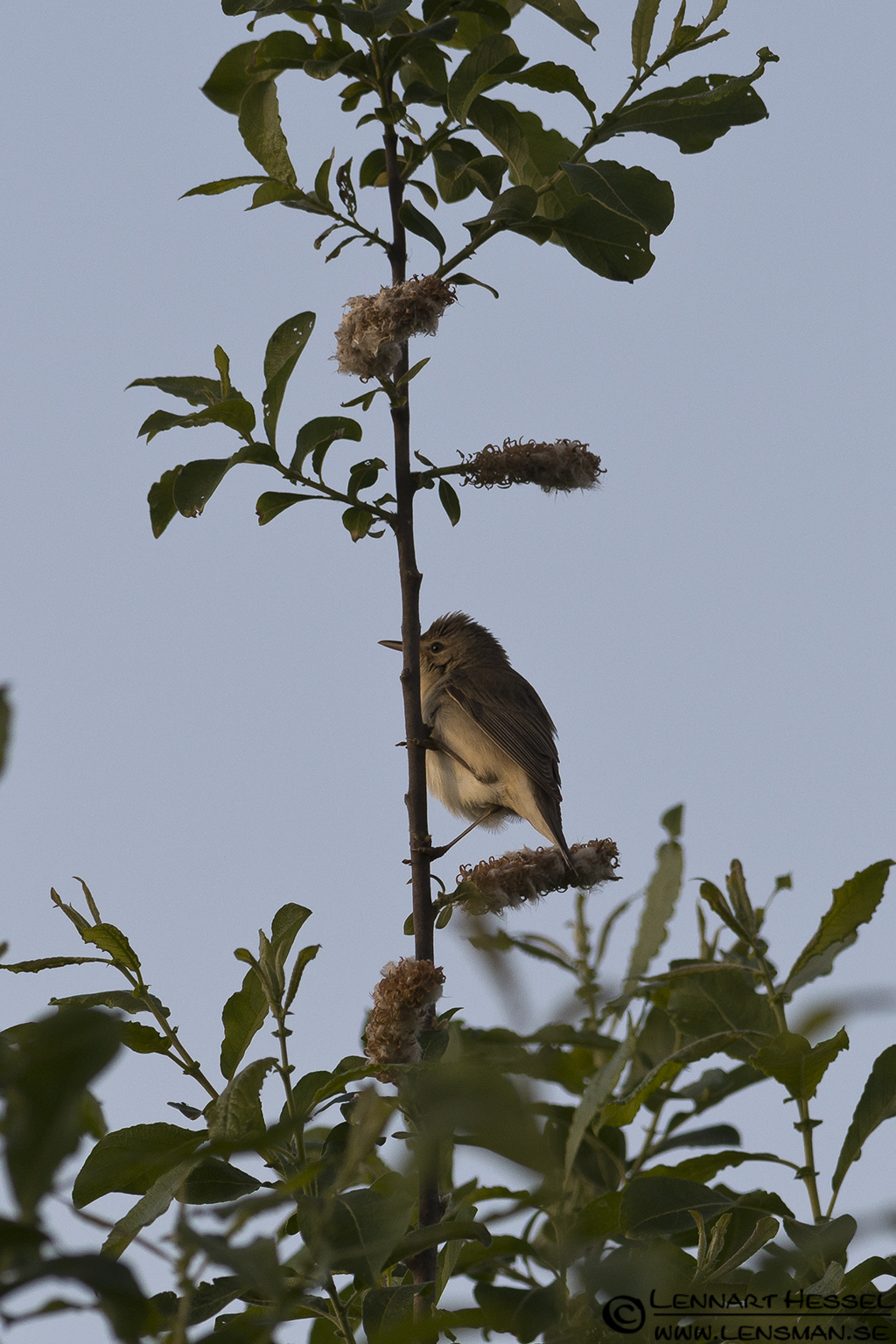 Marsh Warbler at Säveån, warblers