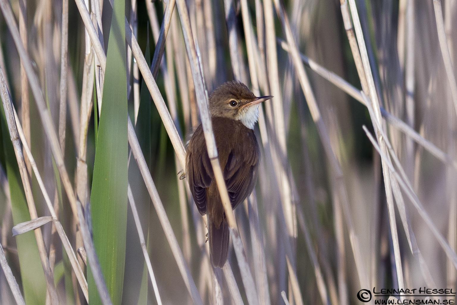 Eurasian Reed Warbler at Säveån