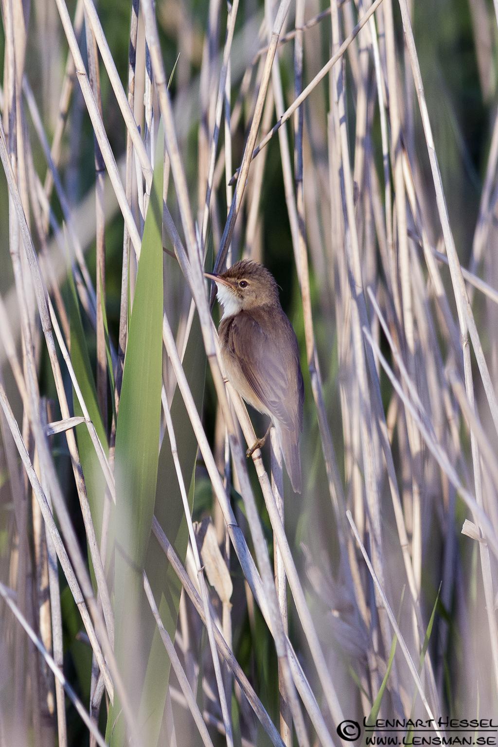 Eurasian Reed Warbler at Säveån, warblers