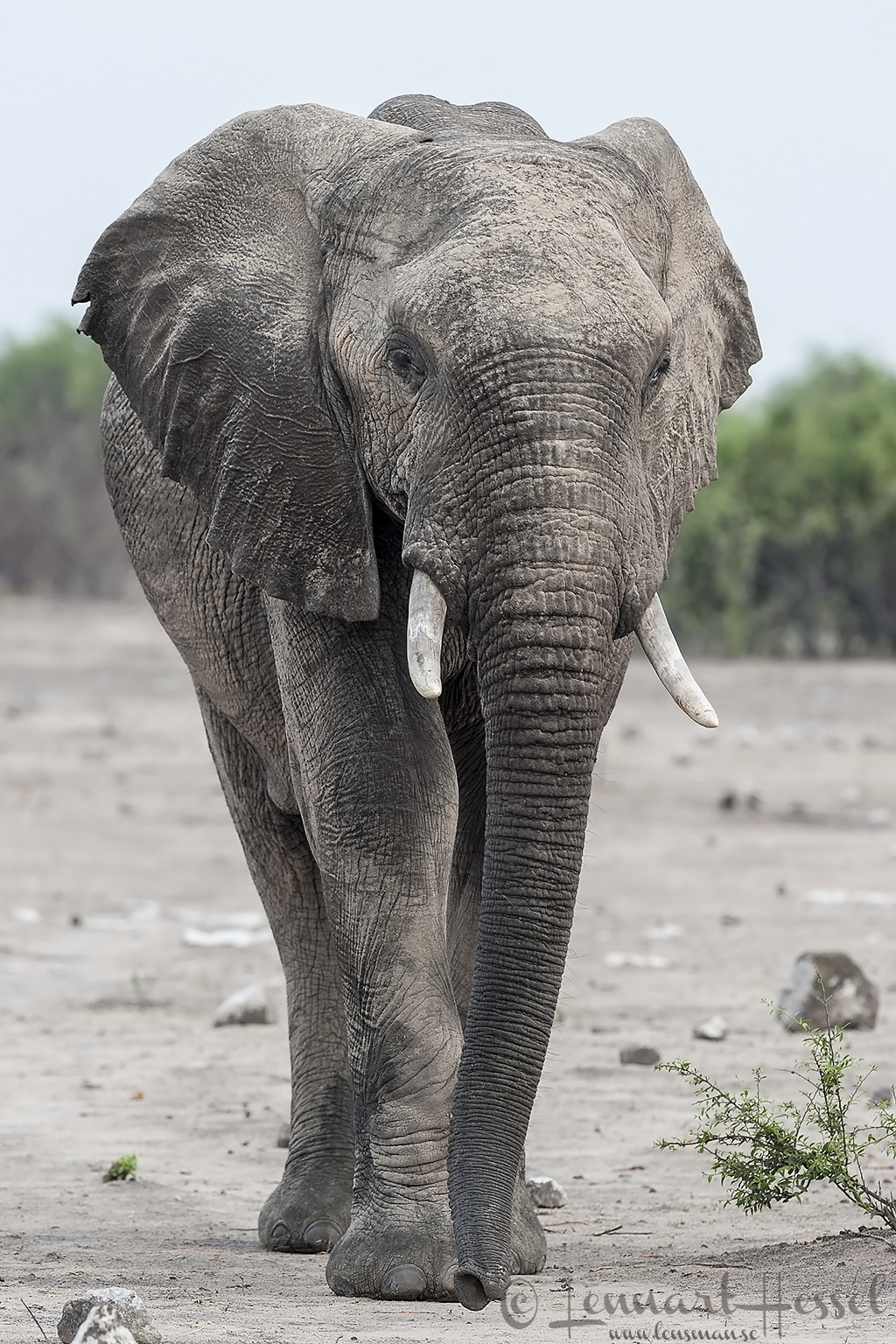 Elephant Bull in Chobe National Park, Botswana cover