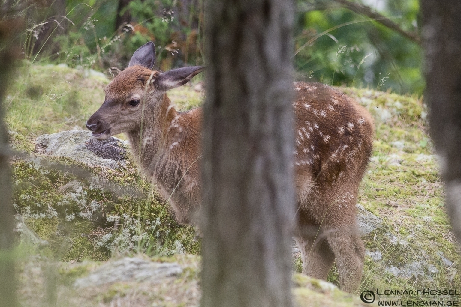 Red Deer bambi