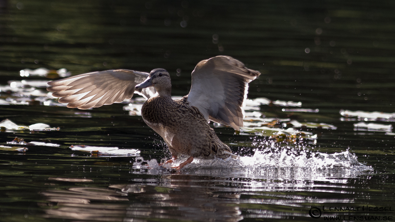 Mallard Duck landing on the water, loon