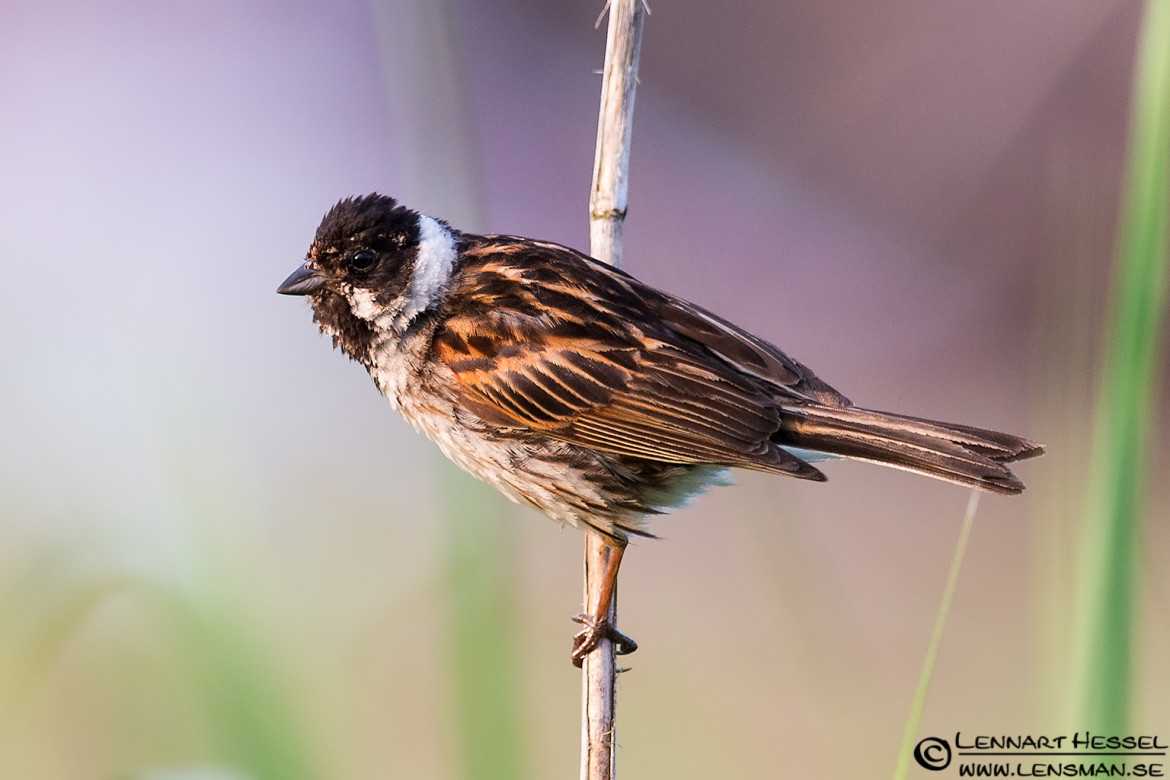Reed Bunting, bag hide