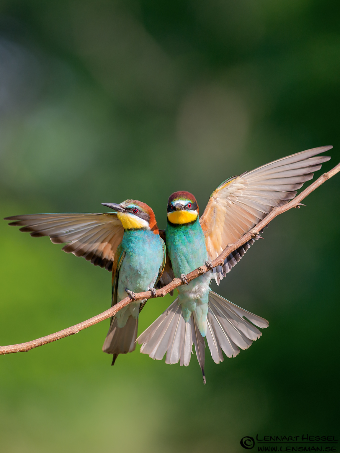 European Bee-eaters, cover photo from Hungary winter