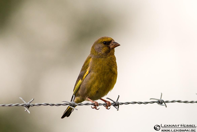 Greenfinch, field trip