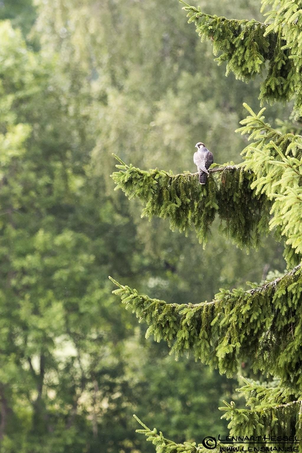 Peregrine Falcon, grasshopper
