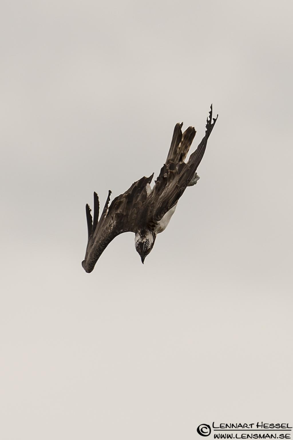Osprey dive, grasshopper