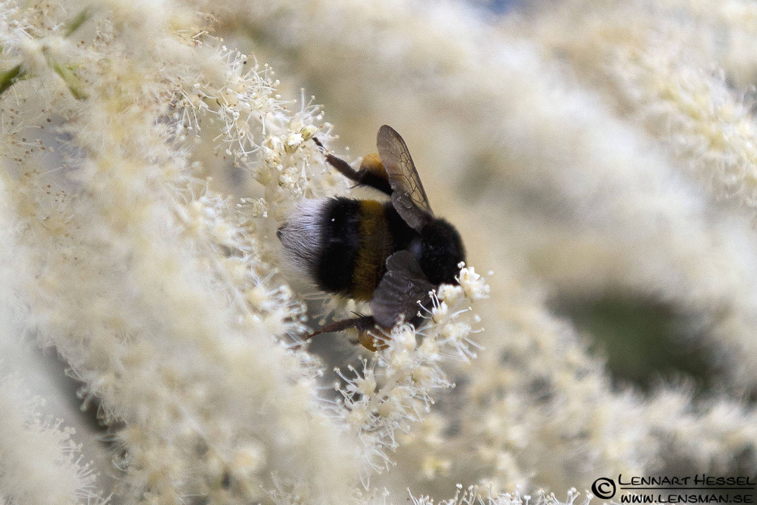 Bumblebee with pollen, photo from Örgryte