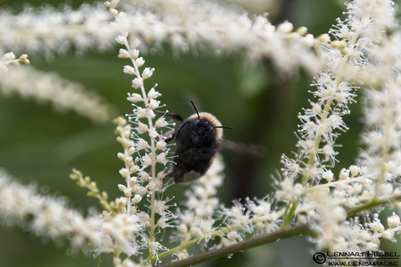 Flying Bumblebee in Örgryte, bumblebees