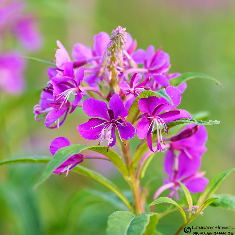 Pink flowers, bag hide