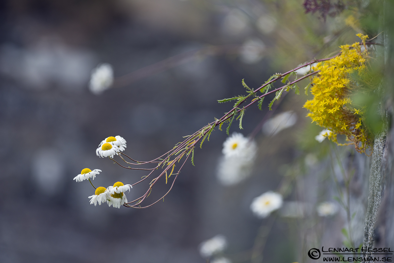 Oxeye Daisy, photo from Ragnhildsholm