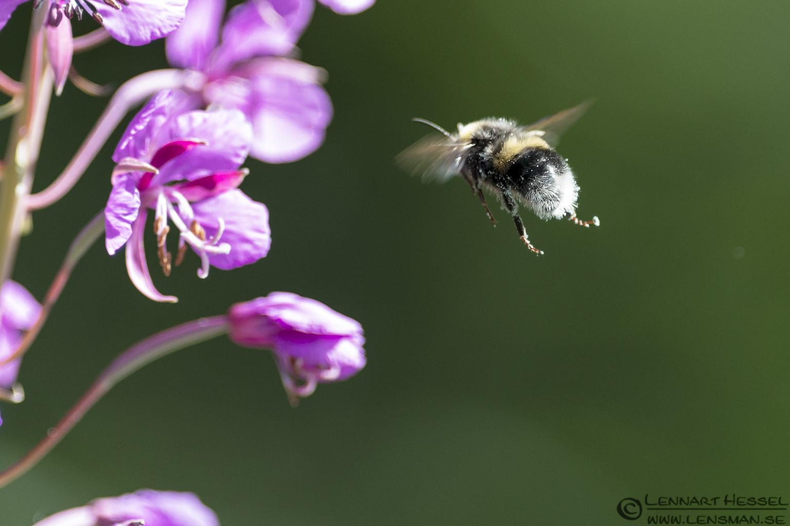 Bee & a flower