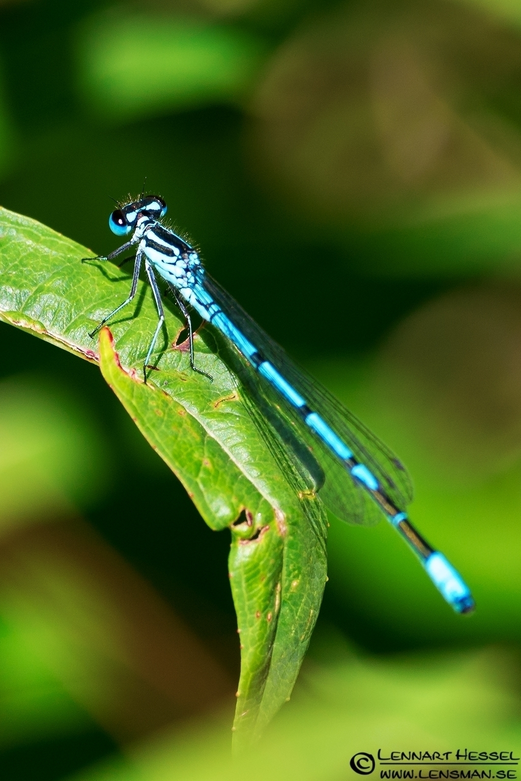 Blue Dragonfly, field trip