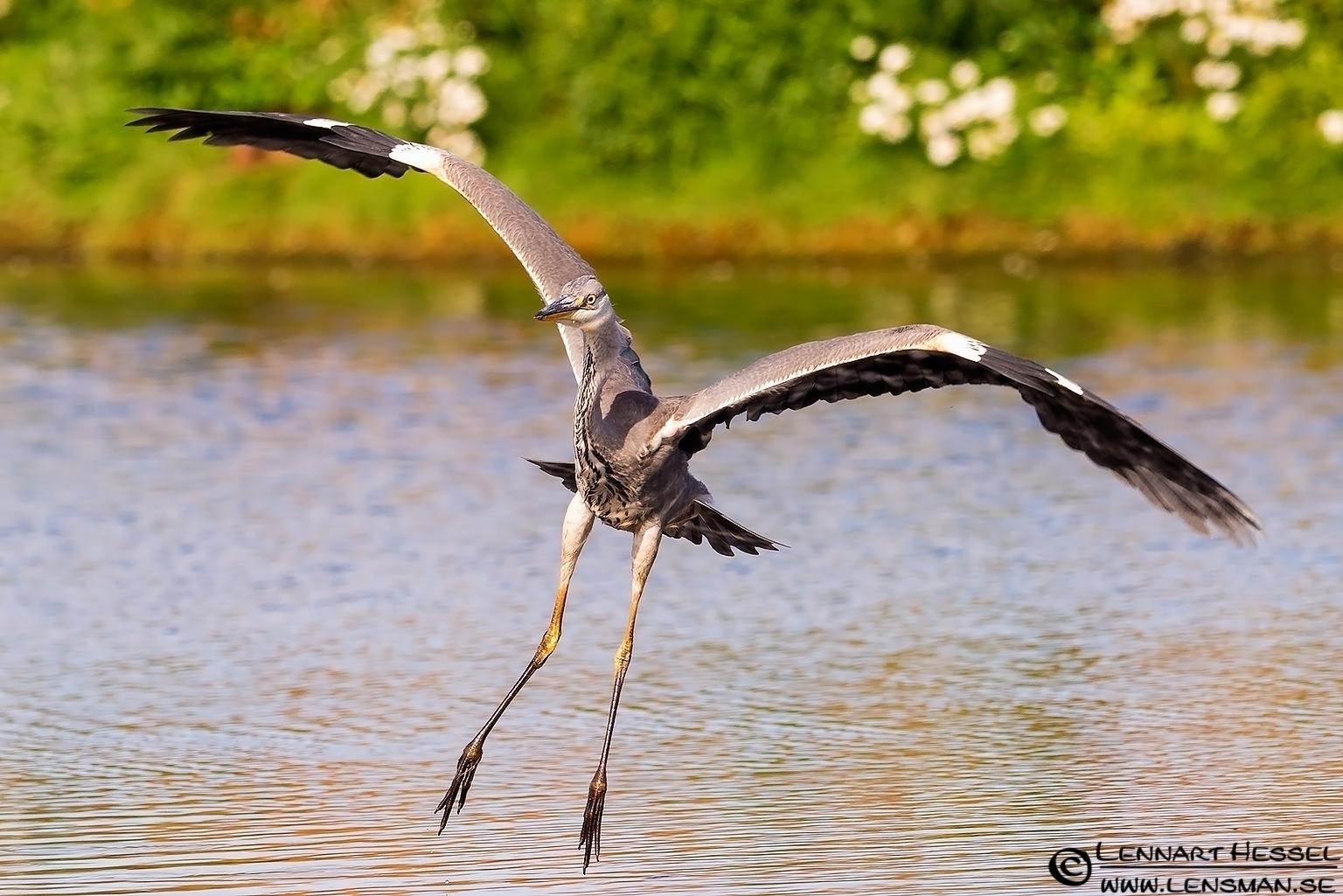 Grey Heron, Halland