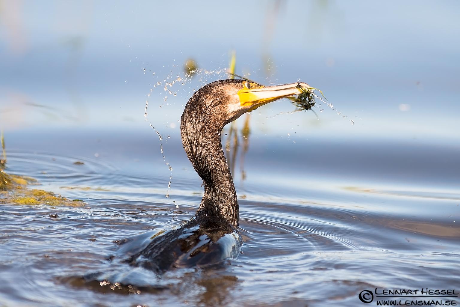 Great Cormorant shake
