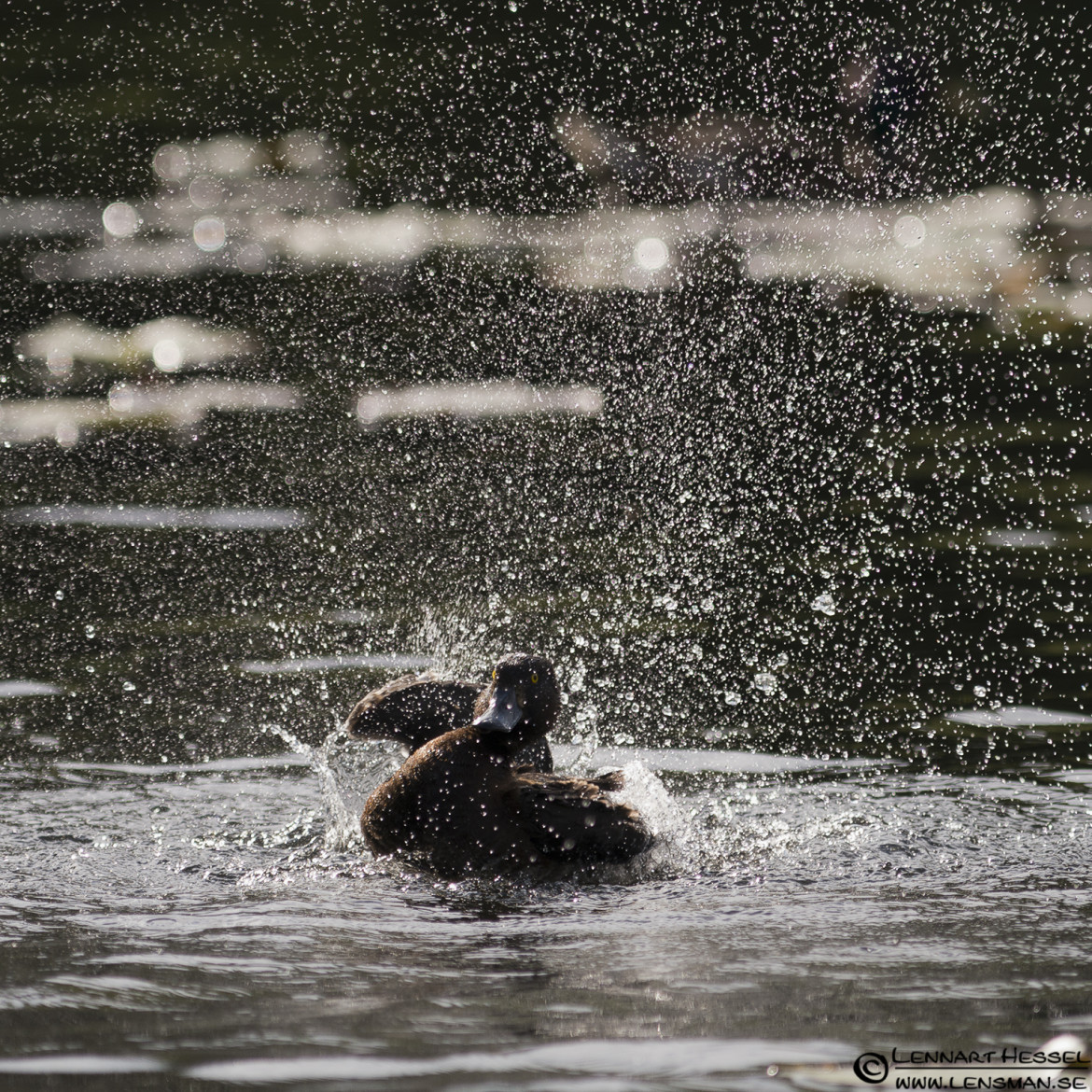 Tufted Duck washing the wing, loon