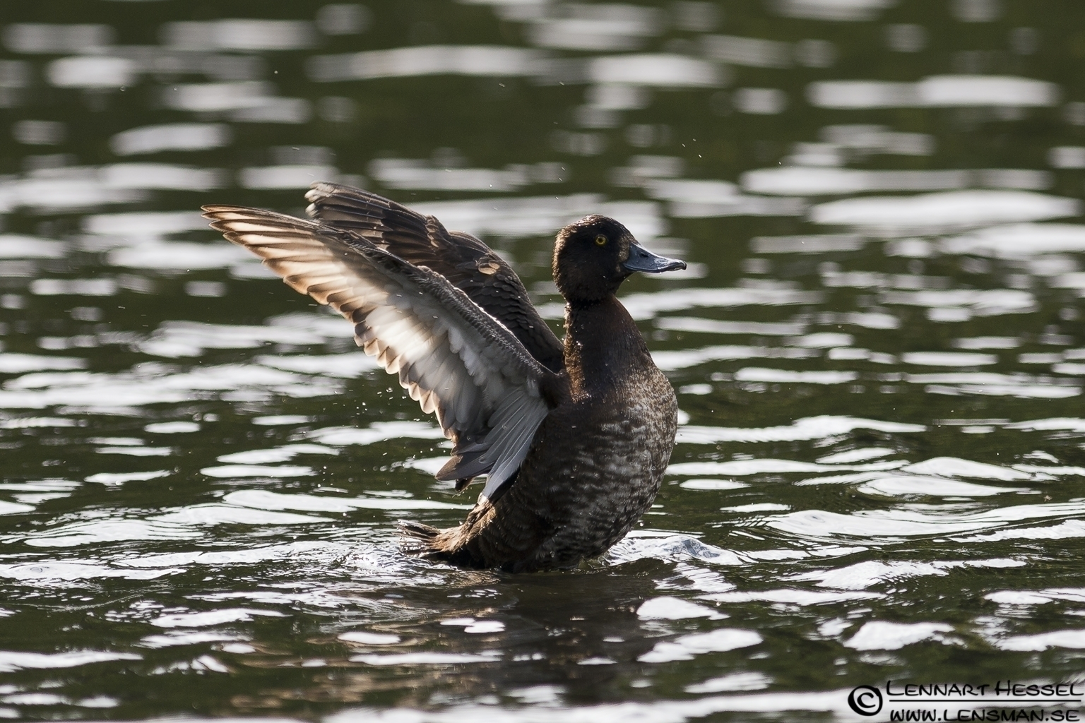 Tufted Duck flapping the wings