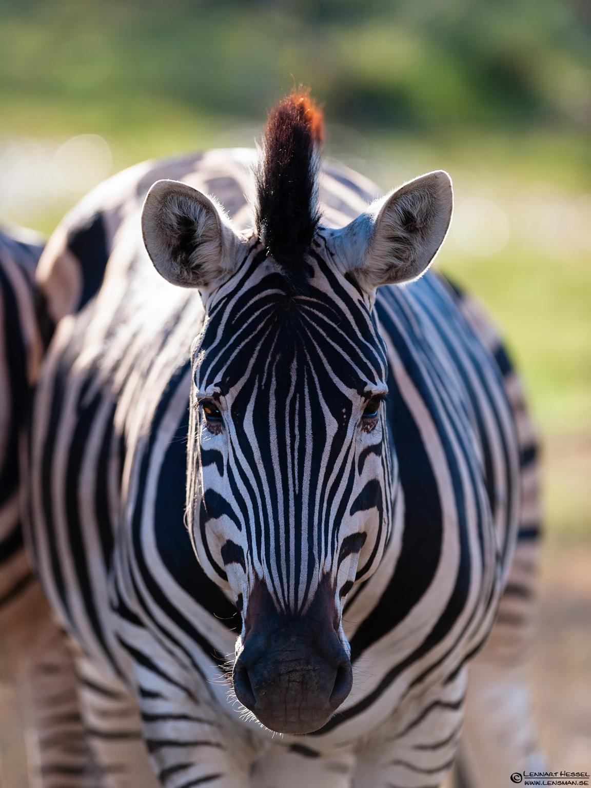 Zebra in Moremi Game Reserve, Botswana cover