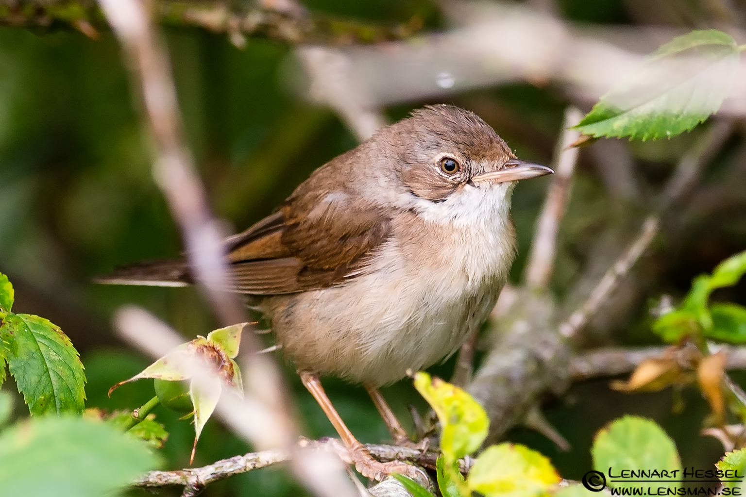 Common Whitethroat, wild bird