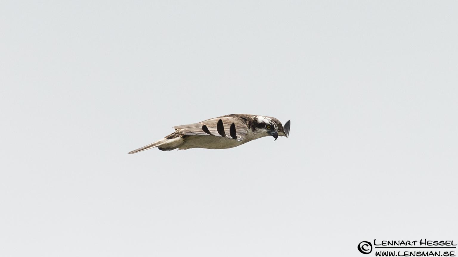 Osprey side view
