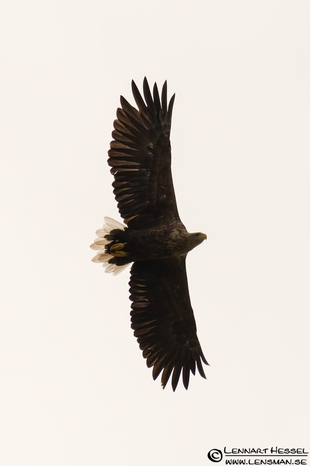 White-tailed Eagle, predatory eagle