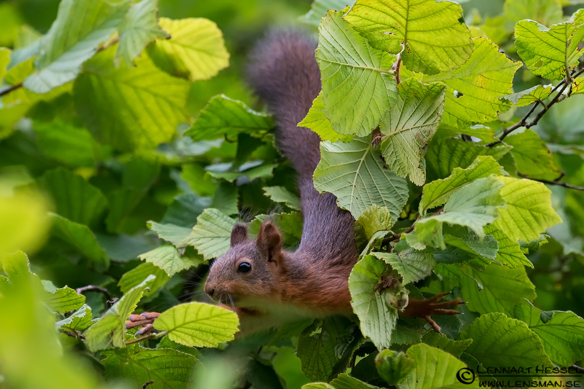 Red squirrel reaching out, botanical