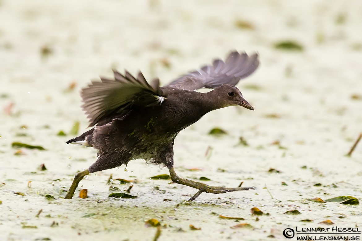 Common Moorhen running, rainy
