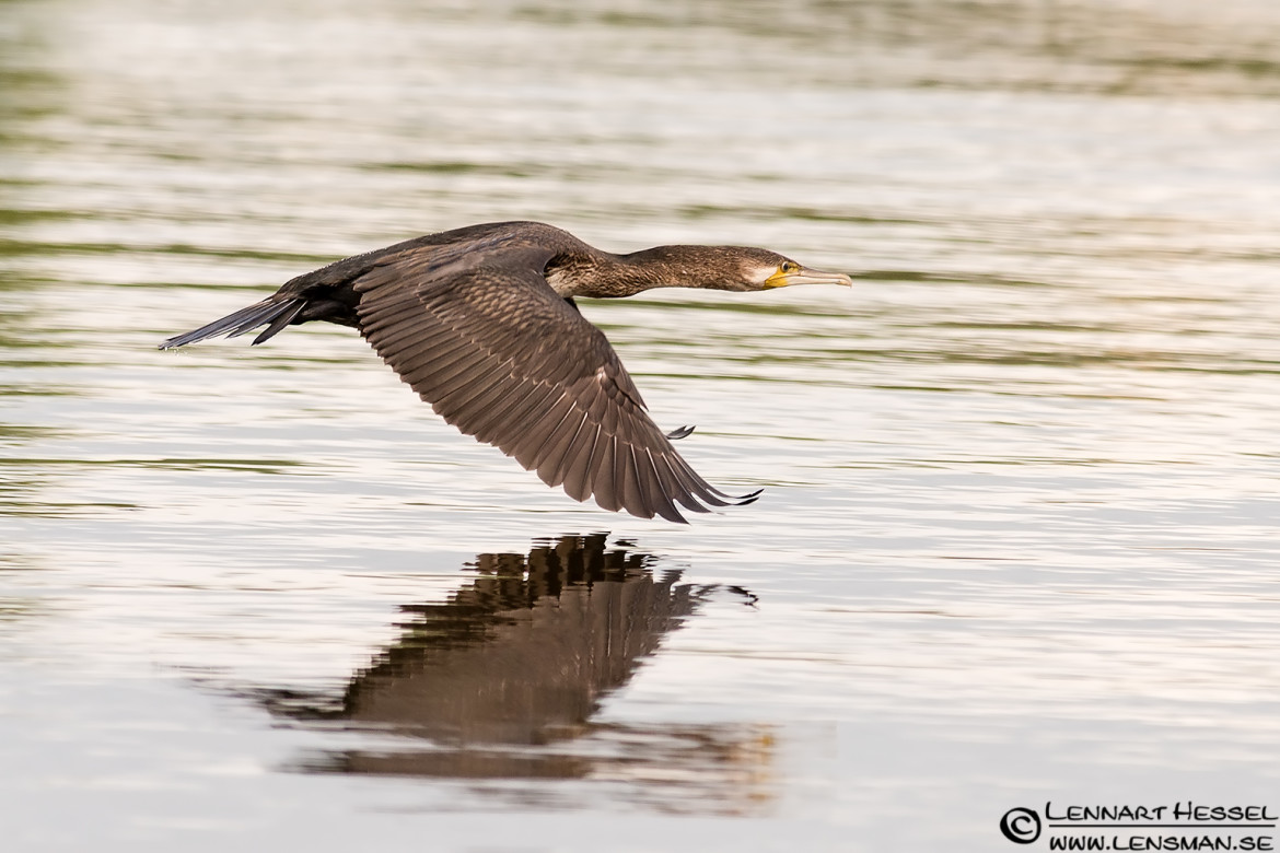 Great Cormorant flying, rainy