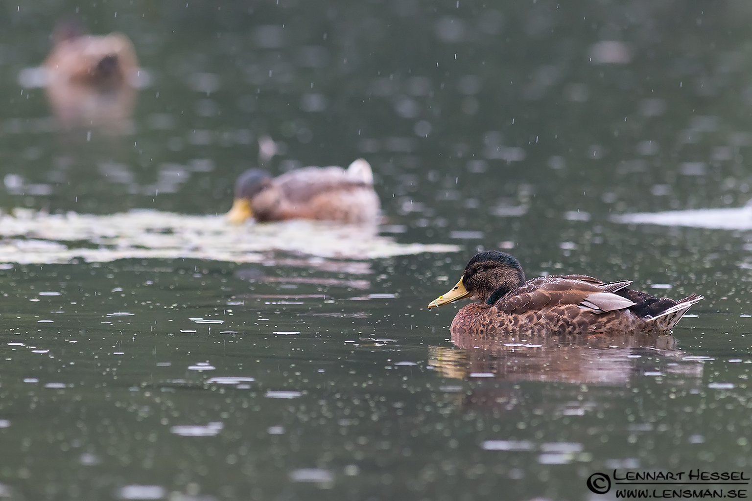 Mallard Duck in the rain
