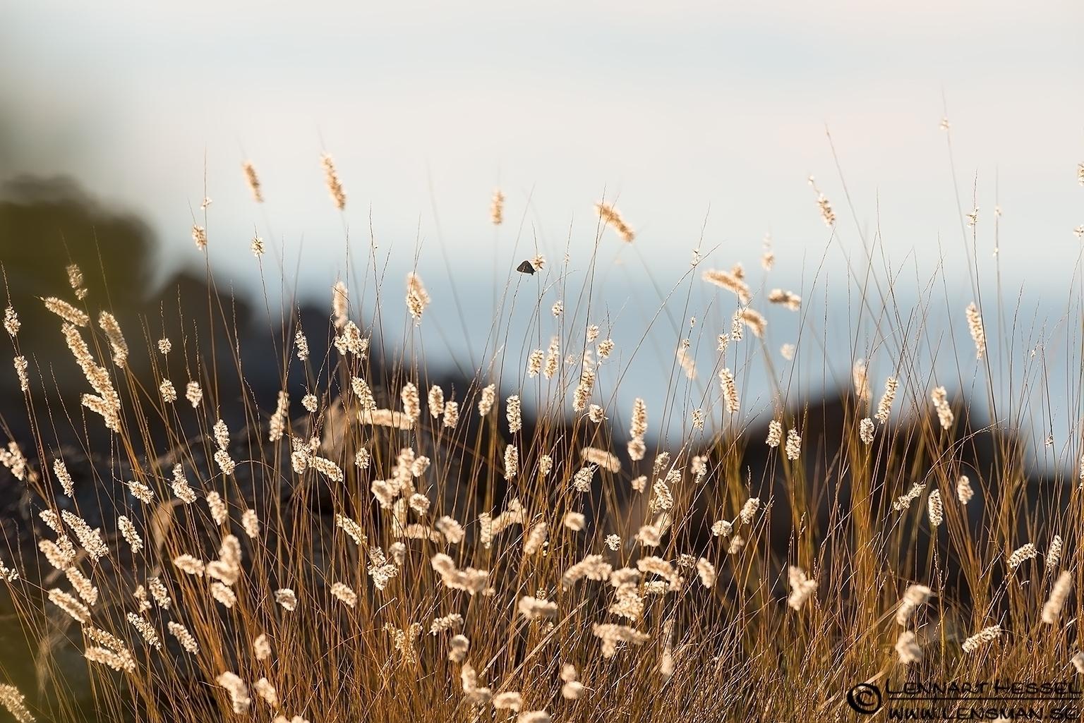 Grass in backlight Öland 2012