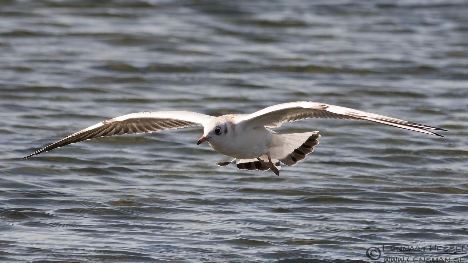 Black-headed Gull Öland 2012