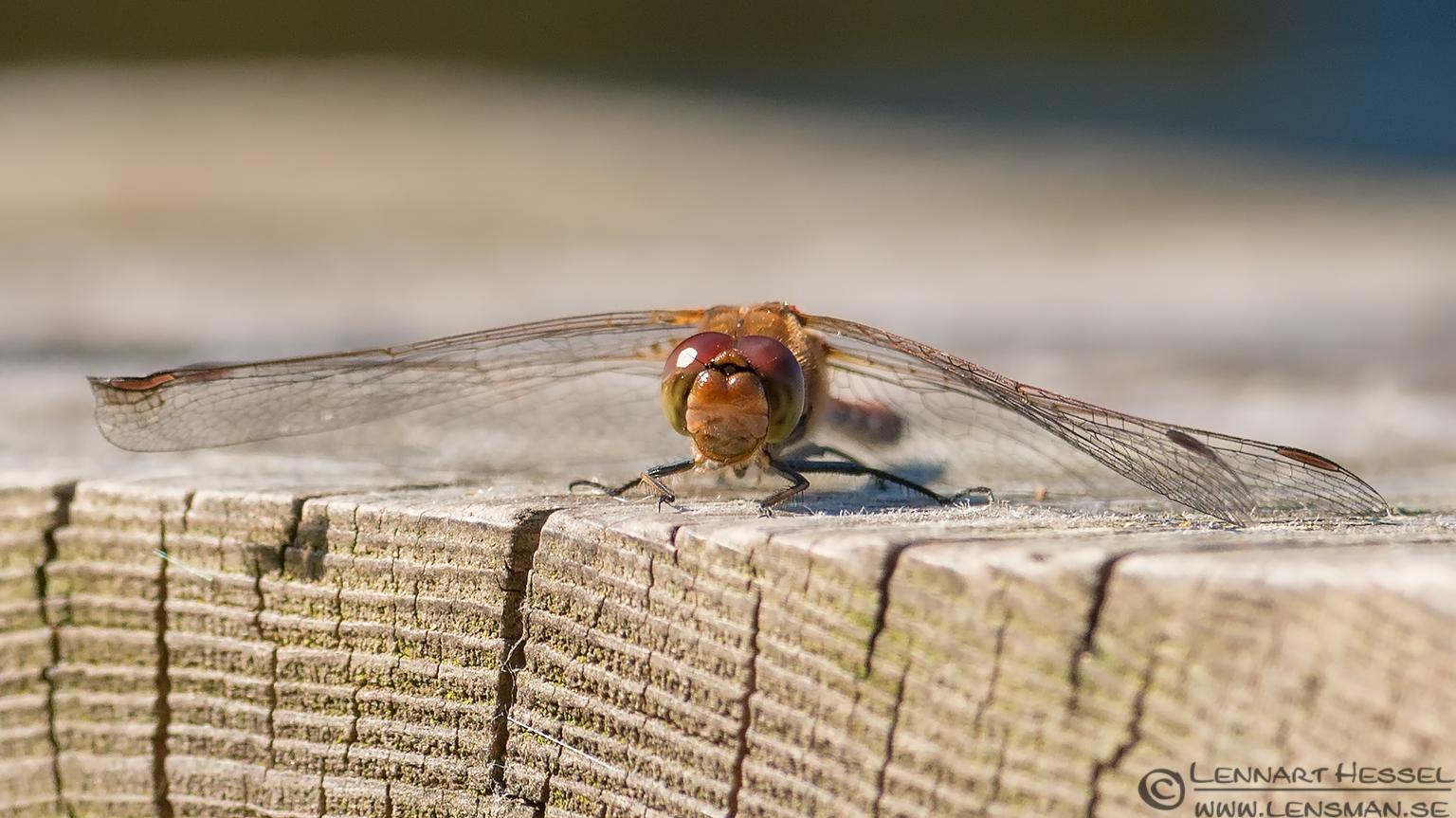 Dragonfly on a bench Öland 2012