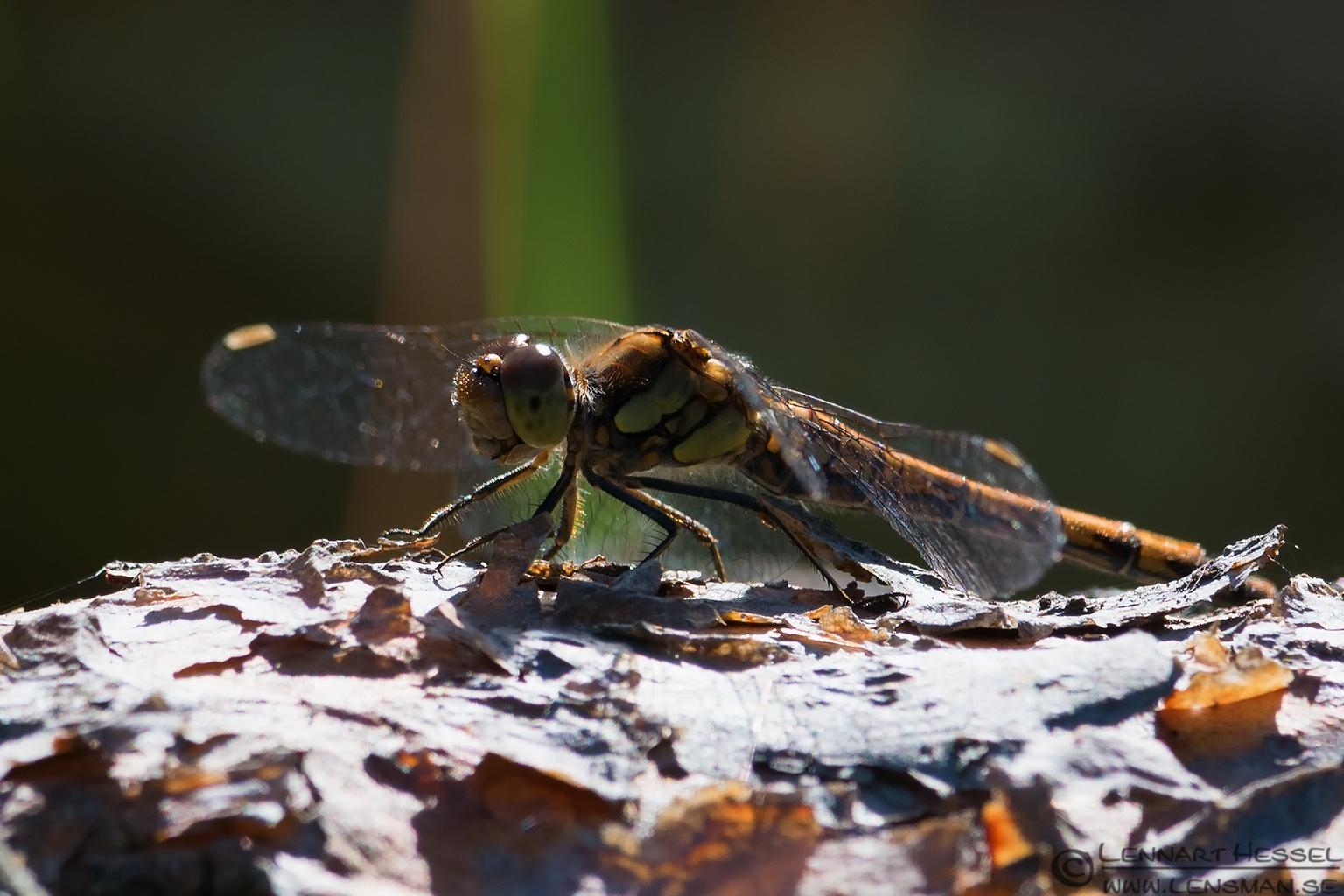 Dragonfly Öland 2012