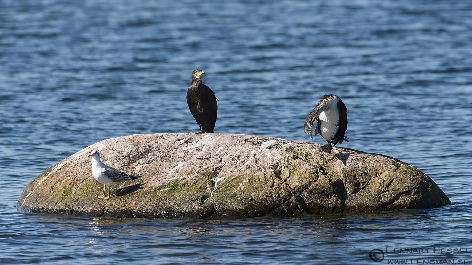 Great Cormorant & Black-headed Gull Öland 2012