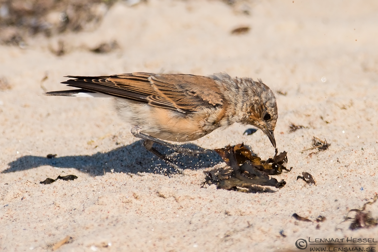 Northern Wheatear searching for food Öland 2012