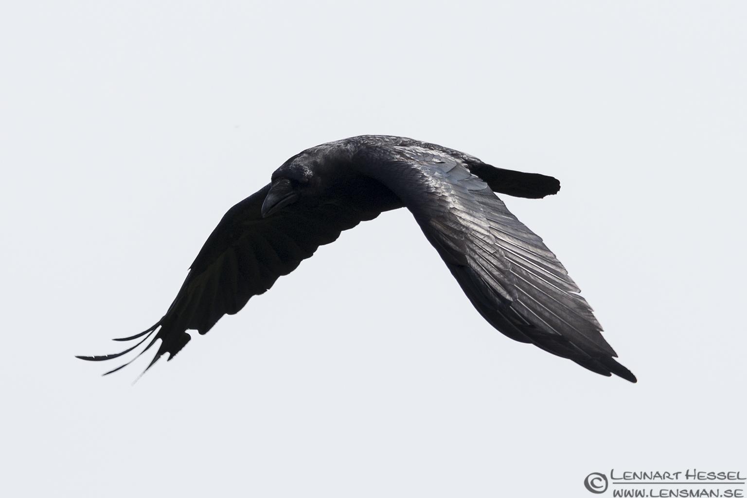 Common Raven Öland 2012