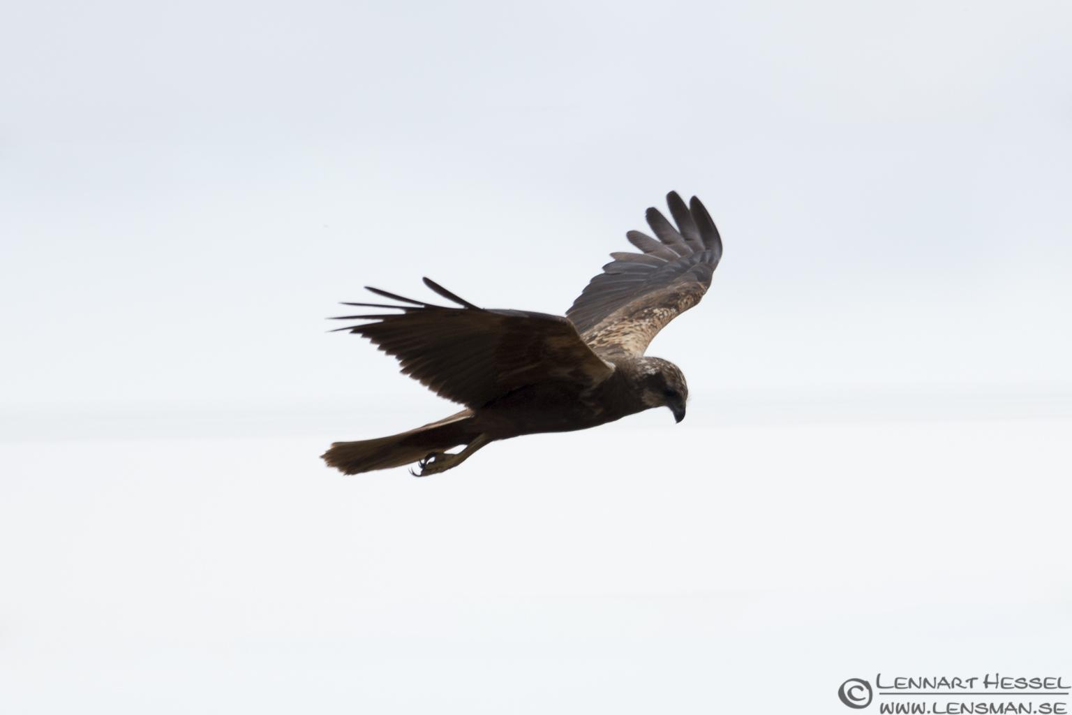Female Marsh Harrier Öland 2012