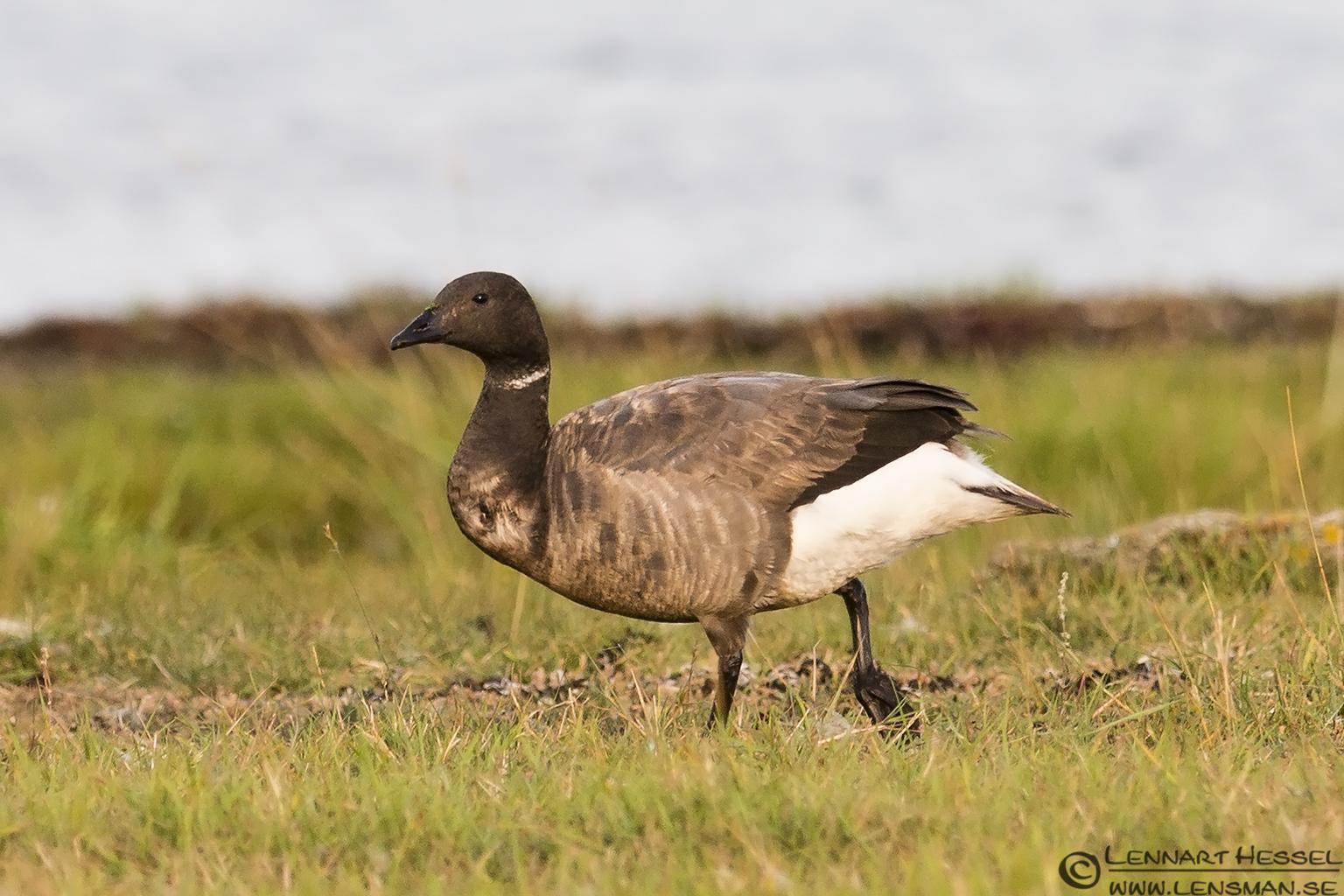 Brant Goose Öland 2012