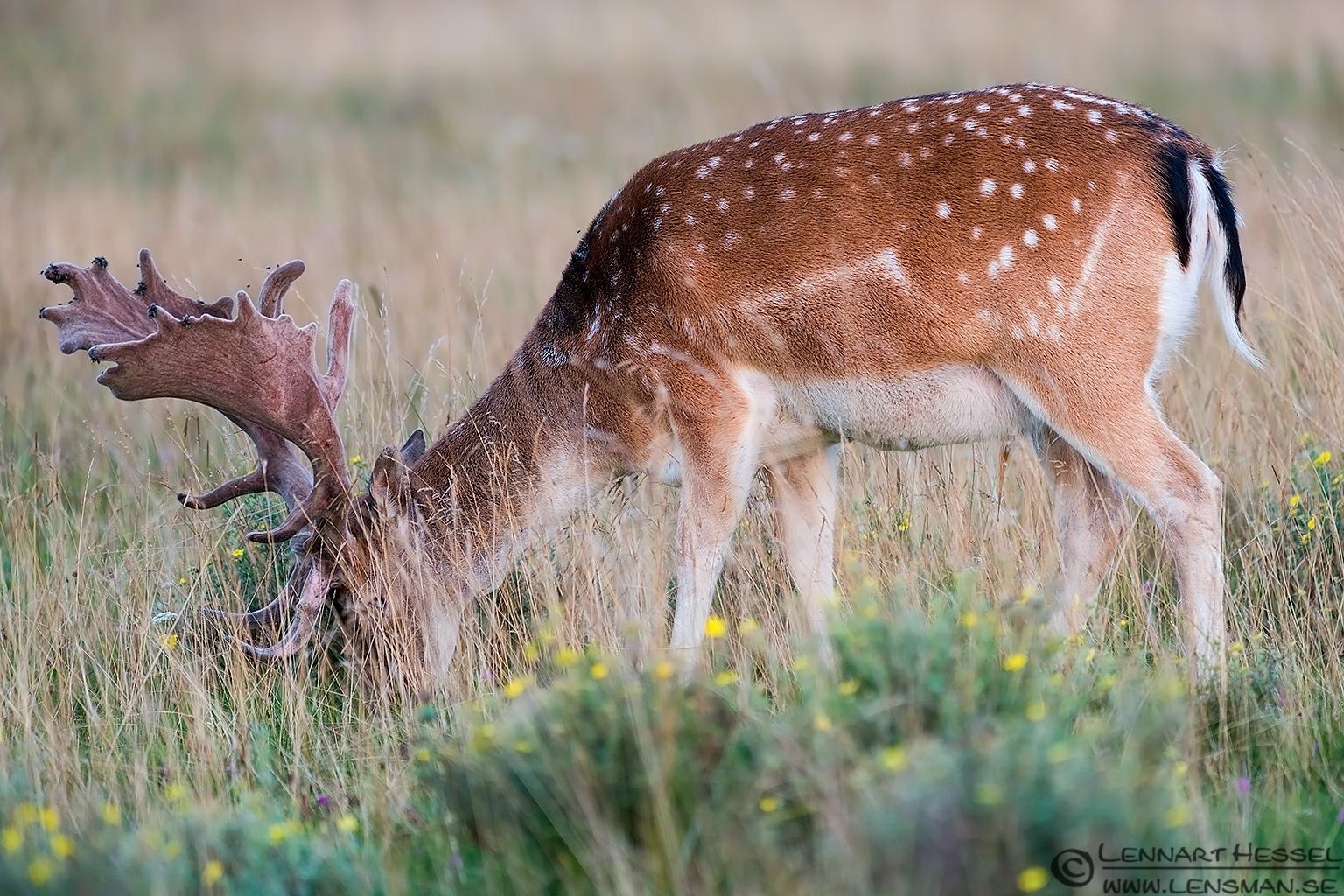 Red Deer grazing Öland 2012