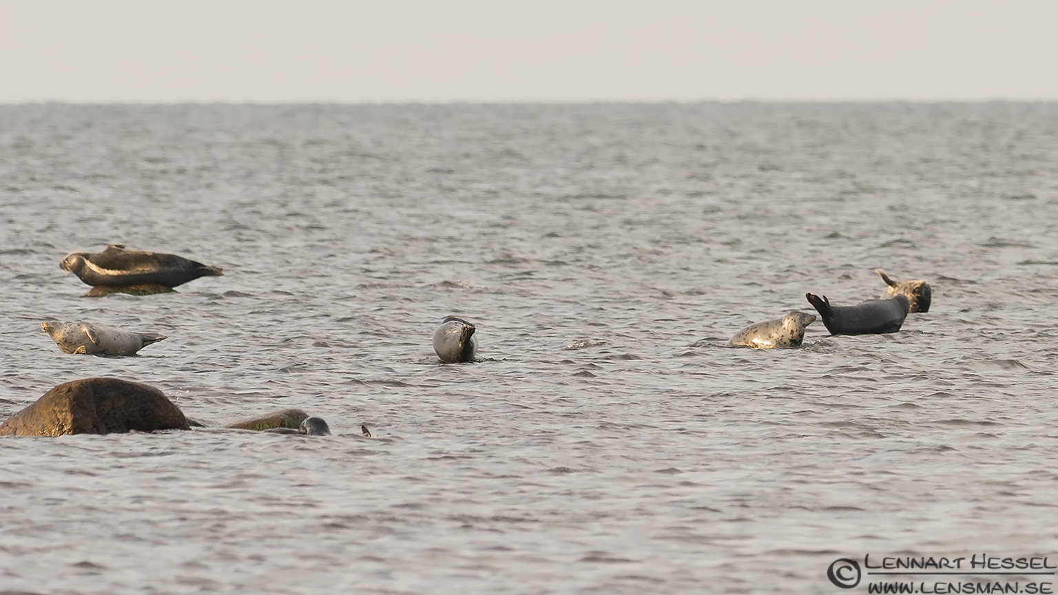 Seal colony Öland 2012